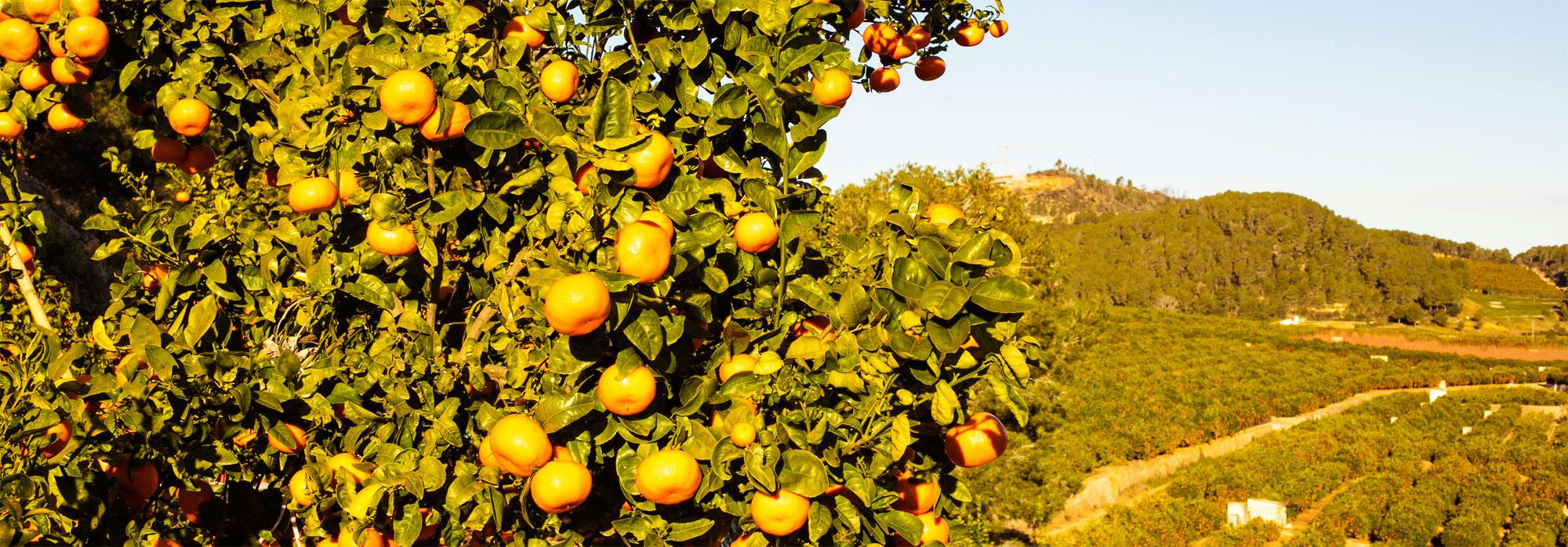 comprar-citricos-desde-la-huerta